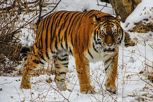 Tiger 2 by Angela Moreau