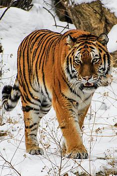 Tiger 4 by Angela Moreau