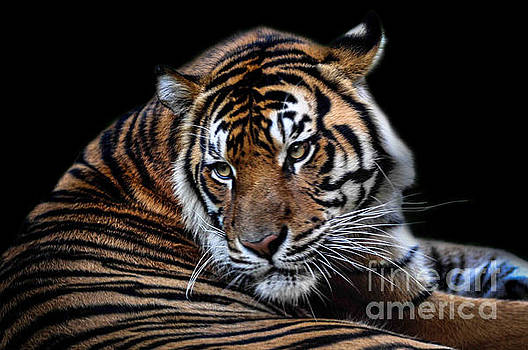Tiger by Barbara Dudzinska