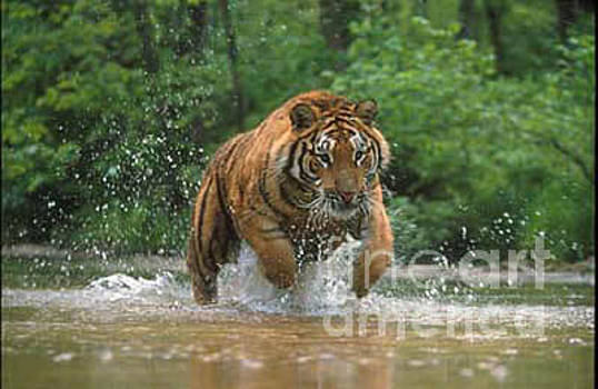 The Hunt, Tiger on the Chase by Sandy Carey