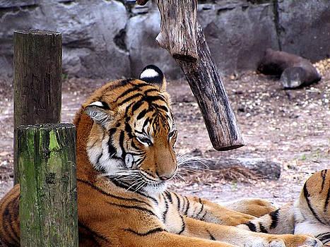 Tiger by Chris Mercer