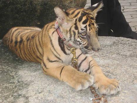 Tiger Cub  by Siddarth Rai