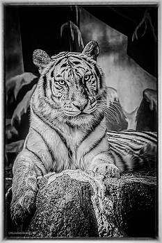 LeeAnn McLaneGoetz McLaneGoetzStudioLLCcom - Tiger Eyes
