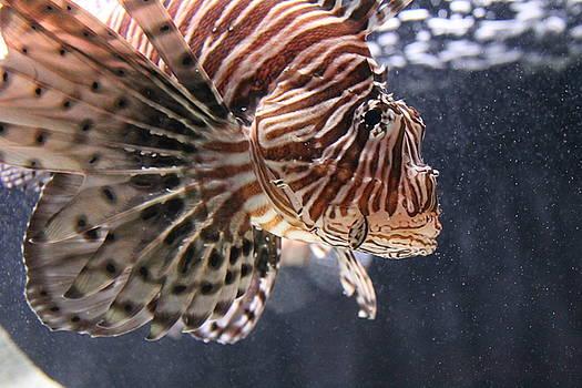 Tiger Fish by Karen Bosquez