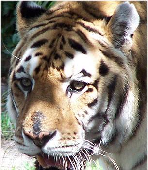 Tiger by Leonard Rosenfield