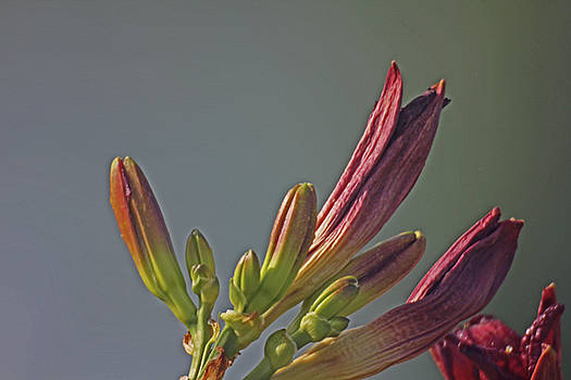 Tiger Lilly Buds 2 7172017  by David Frederick