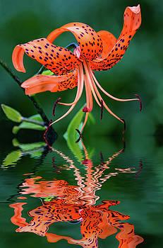 Tiger Lily - Reflection by Steve Harrington