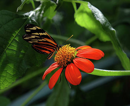 Tiger Longwing on flower by Ronda Ryan