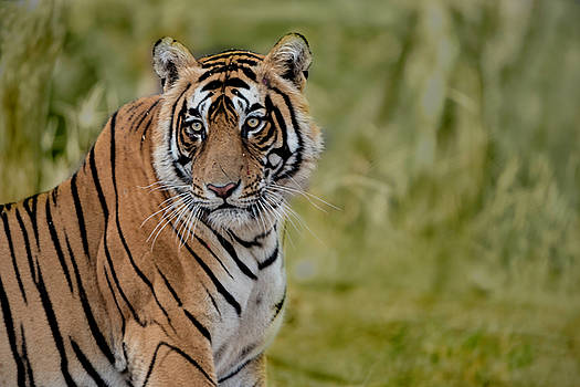 Tiger Look by Pravine Chester