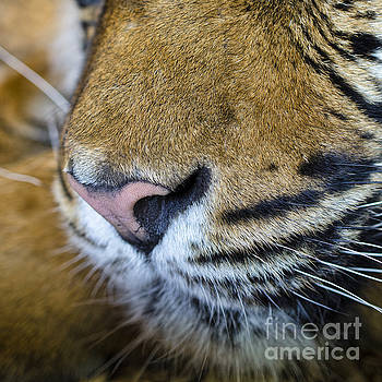 Tiger nose by Steev Stamford