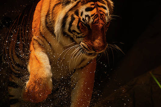 Chris Flees - Tiger playing in the water