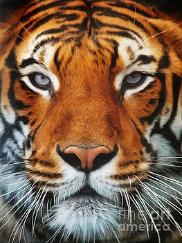 Angela Doelling AD DESIGN Photo and PhotoArt - Tiger Portrait
