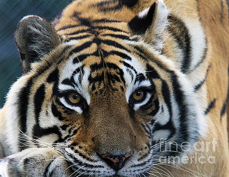 Tiger by Roger Becker