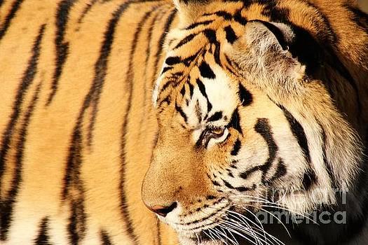Nick Gustafson - Tiger Stripes