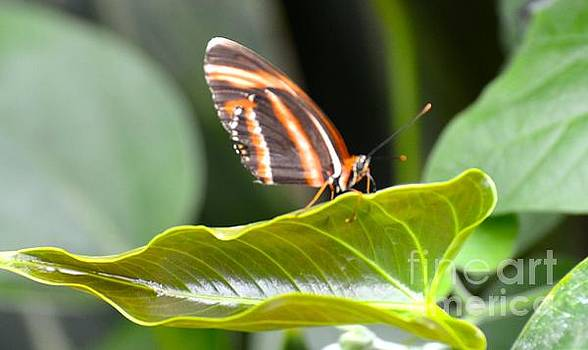 Tiger Stripped Butterfly by Stephanie  Bland