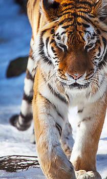 Tiger Strut by Karol Livote