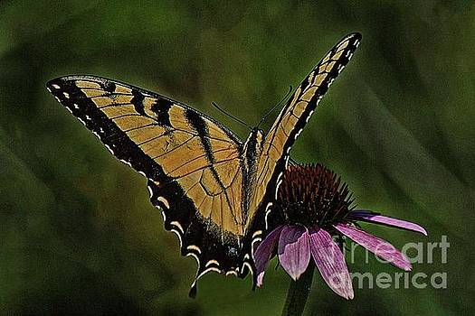 Tiger swallowtail butterfly by Jim Wright