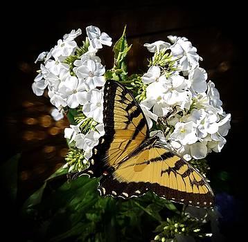 Joe Duket - Tiger Swallowtail Butterfly