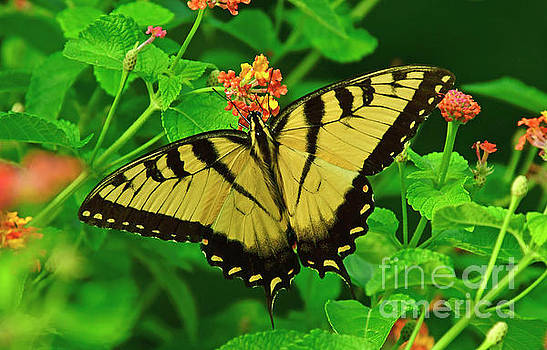 Tiger Swallowtail Butterfly by Kathy Baccari