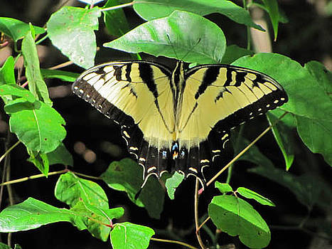 Tiger Swallowtail Butterfly by Richard Nickson