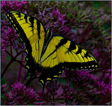 Chris Lord - Tiger Swallowtail