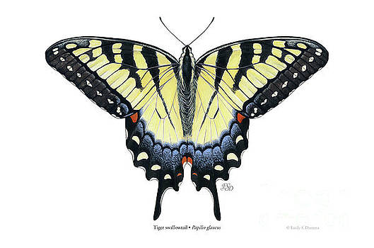 Tiger swallowtail by Emily Damstra