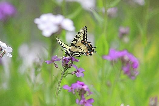 Tiger Swallowtail feeding on wildflower by Linda Crockett
