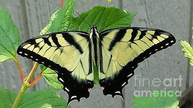 Tiger Swallowtail by LeRoy Jesfield