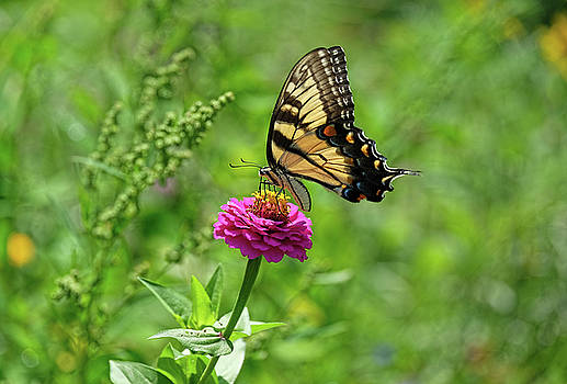 Tiger Swallowtail lights on flower by Ronda Ryan