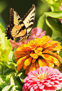 Tiger Swallowtail on Zinnia by William Jobes