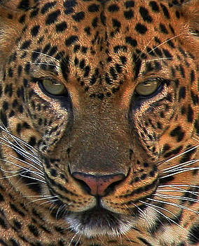 Tiger Tiger by Carol Kinkead
