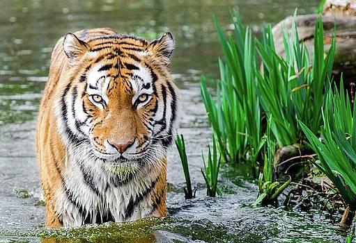 Tigre by Vincent Marguerit