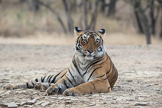 Tigress Arrowhead by Pravine Chester