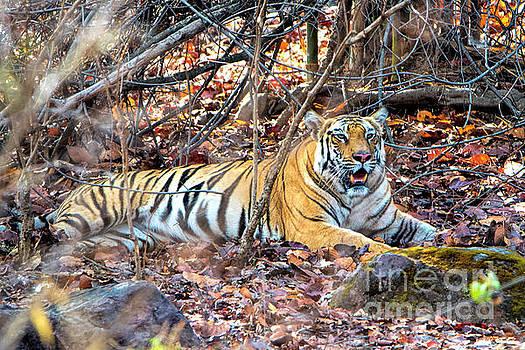 Pravine Chester - Tigress in the woods