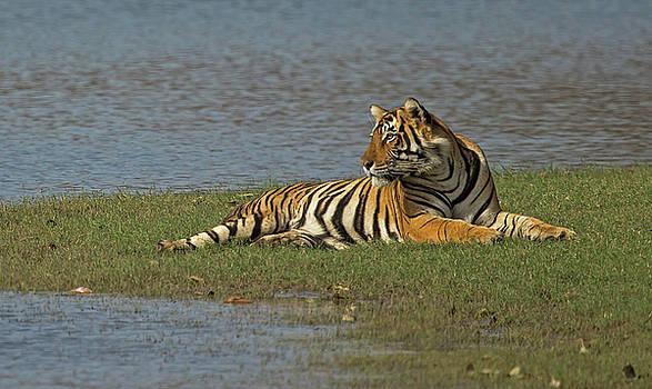 Tigress by Jean-Luc Baron