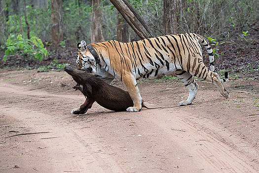 Tigress with the Kill by Fotosas Photography