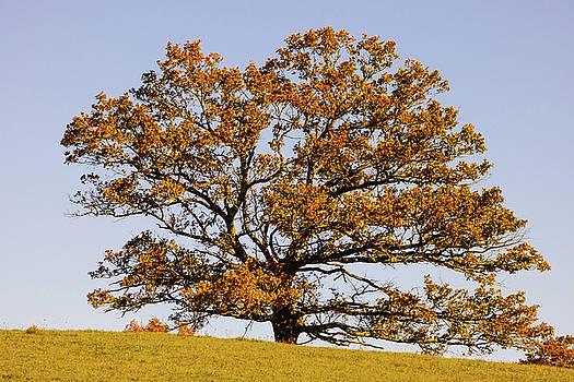 Tilia tree in Autumn by Helissa Grundemann