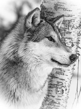 Timber Wolf by Athena Mckinzie