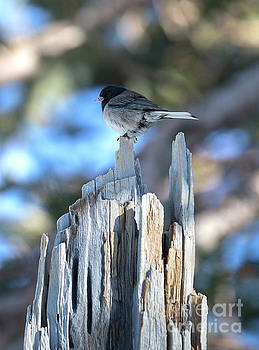 Tiny Dark-Eyed Junco Bird by Brandon Alms