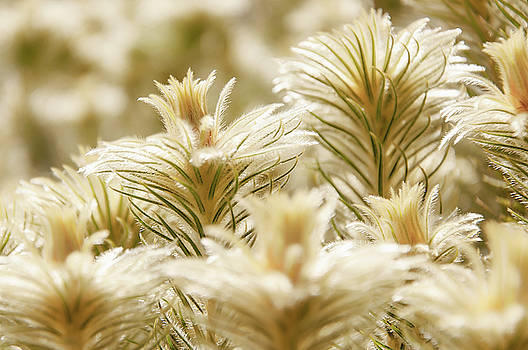 Tiny hairs in spot focus of glowing golden plants by Daniela Constantinescu