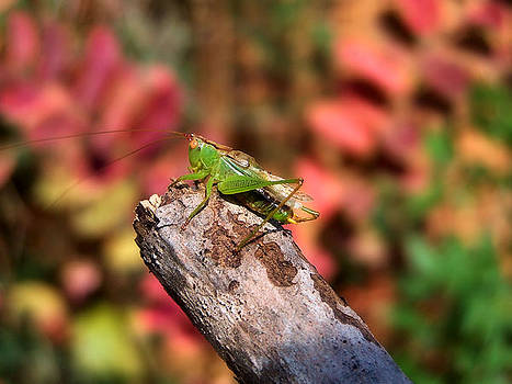 Karen Scovill - Tiny Katydid