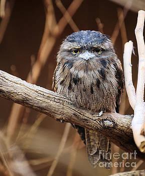 Tiny Grumpy Owl by Bill Frische