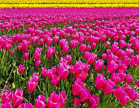 Tiptoe Thru the Tulips by Digital Art Cafe