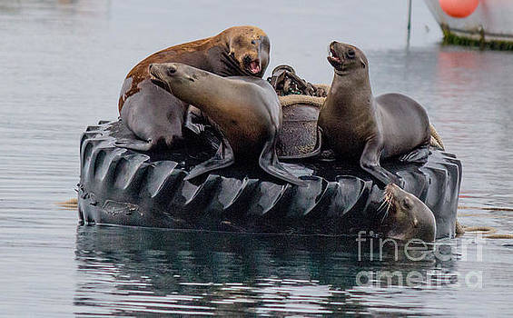 Tire Floating Sea Lions  by DJ Laughlin