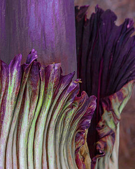 Titan Arnum, Corpse Flower, Abstract by Kimberly Blom-Roemer