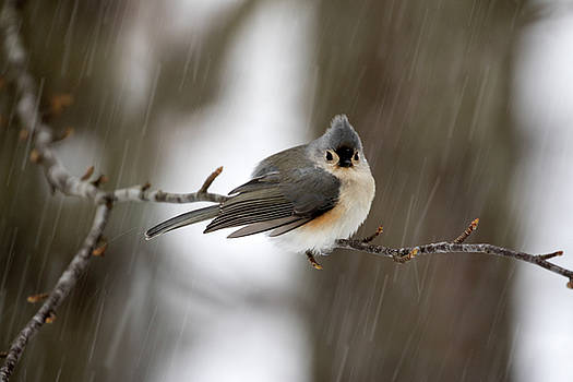 Titmouse During Snow Storm by Betty Pauwels