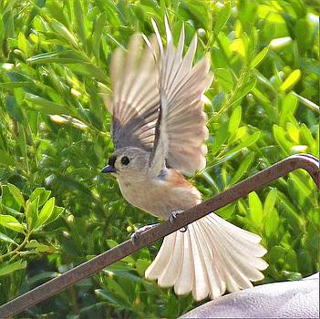 Titmouse Takeoff by Kathy Kelly