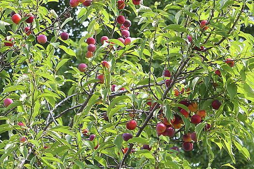 Toka Plum Trees by Bethany Benike