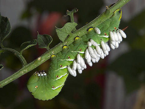 Michael Peychich - Tomato Horn Worm with Wasp Larva
