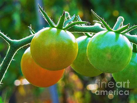 Tomato Plant by Chad and Stacey Hall